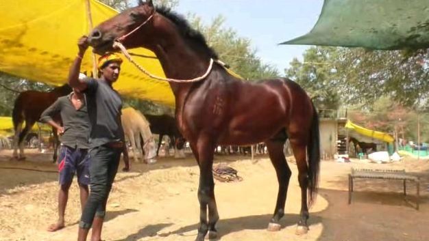 , देखणं शरीर आणि मजबूत बांधा, अकलूजच्या बाजारात 50 लाखांचा घोडा