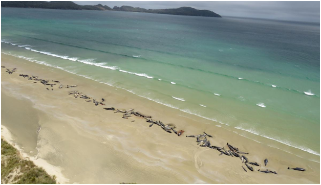 , VIDEO : न्यूझीलंडमध्ये 145 व्हेल माशांचा मृत्यू