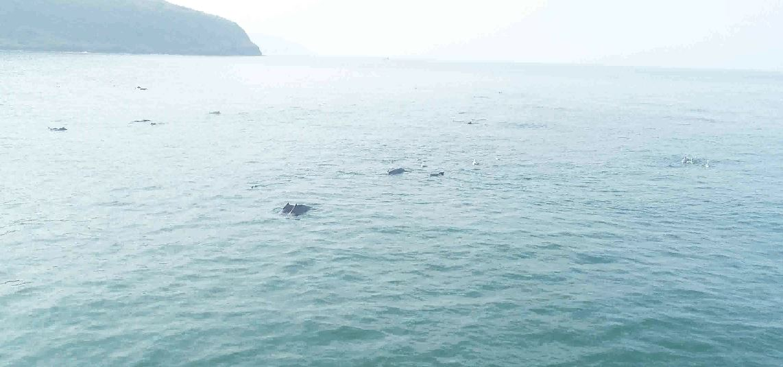 , गुहागरच्या समुद्रात 200 हून अधिक डॉल्फिन