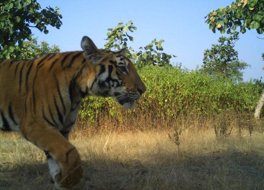 तंत्र-मंत्रासाठी वाघाच्या अवयवाची मागणी, मेळघाटात शिकारी टोळ्या अटकेत