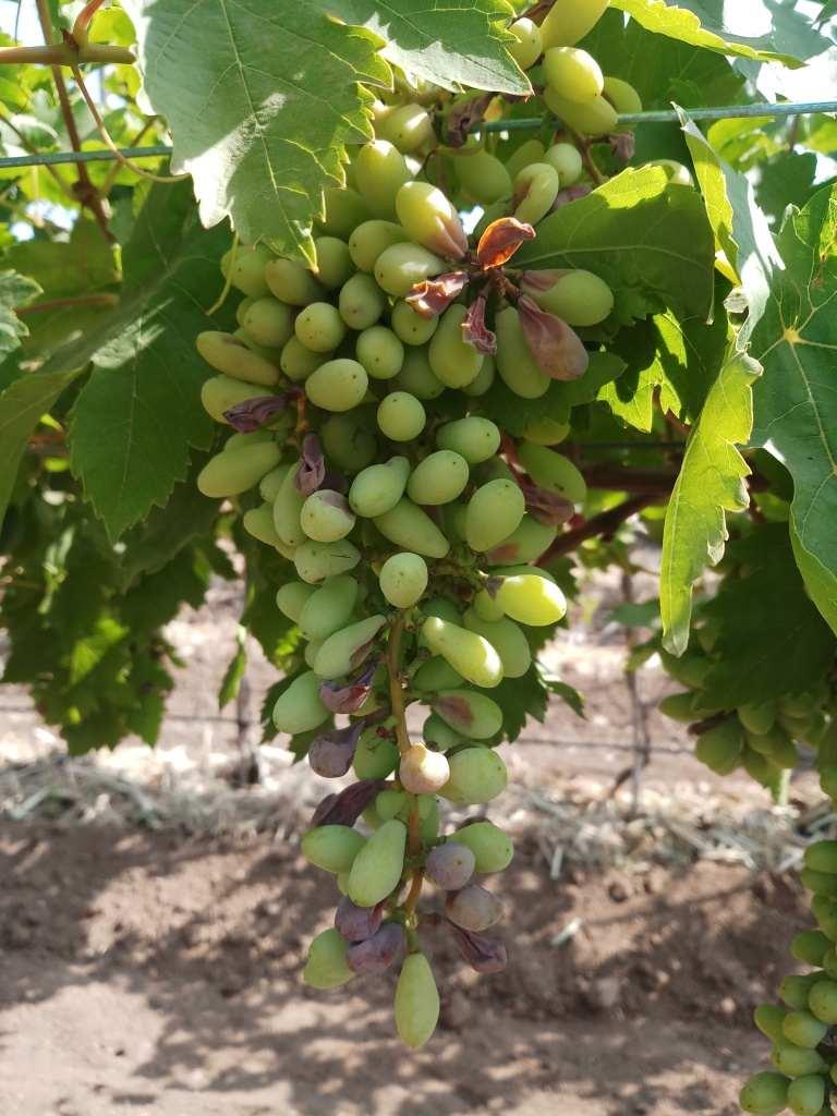 , निफाडमध्ये थंडीचा कहर, द्राक्षबागांचं नुकसान