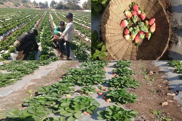 महाराष्ट्रात फक्त महाबळेश्वरच नाही, या जिल्ह्यातही स्ट्रॉबेरीचं भरघोस उत्पादन होतं!