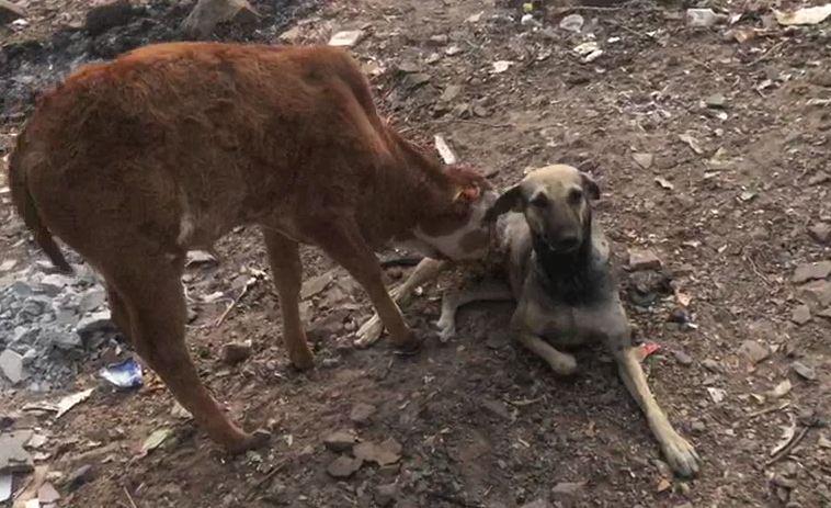 भुकेने व्याकूळ वासराला कुत्रीने दूध पाजलं!