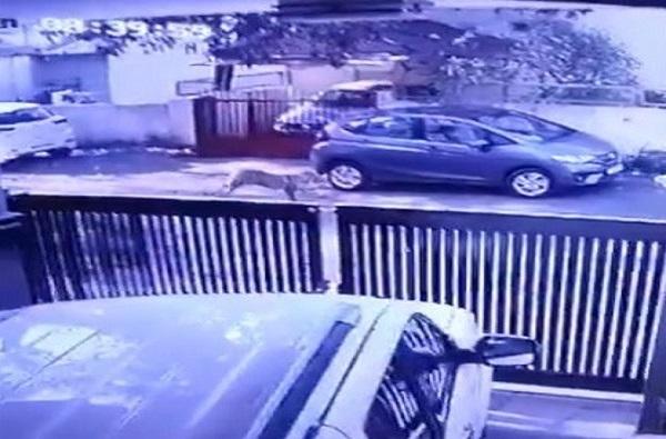 VIDEO : सहा तासानंतर अखेर बिबट्या जेरबंद