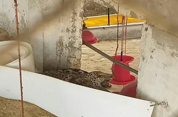 Leopard in Poultry Farm, नाशिकमध्ये पोल्ट्री फार्ममध्ये घुसून बिबट्याचा धुमाकूळ