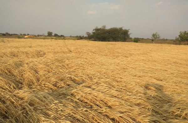 वर्ध्यात अचानक गारपिटीसह पाऊस, वीज कोसळून दोन शेतकऱ्यांचा मृत्यू