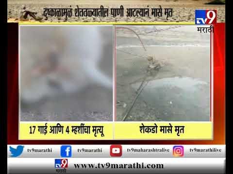नाशिक : दुष्काळामुळे सिन्नरमध्ये 17 गाई, 4 म्हशींचा मृत्यू