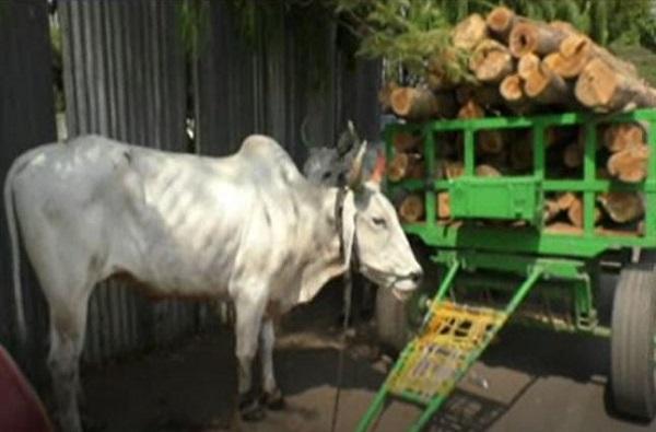 More work than the capacity of bullock in heavy summer case register in Nagpur, रखरखत्या उन्हात बैलांकडून क्षमतेपेक्षा जास्त काम, नागपुरात गुन्हा दाखल