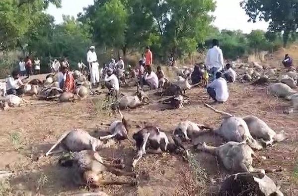 धुळ्यात एकाचवेळी 200 ते 250 मेंढ्यांचा मृत्यू