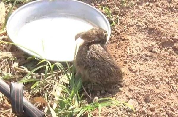 sangli thirsty rabbit, तहानलेला ससा, रोज मानवी वस्तीत येतो, पाणी पितो, निघून जातो!